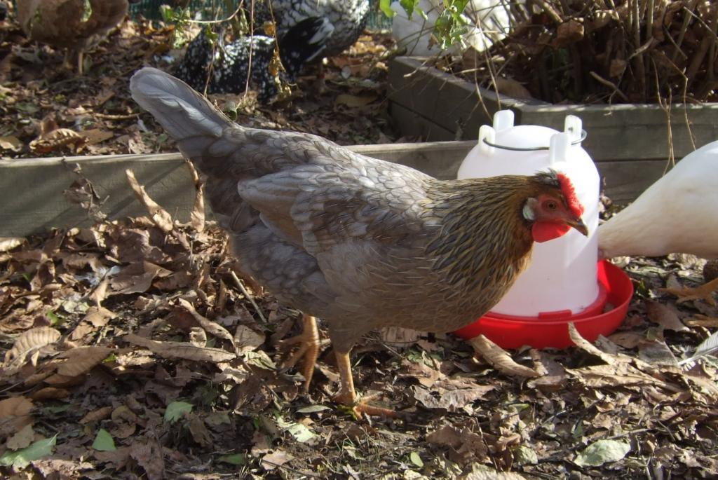 http://www.backyardchickens.com/forum/uploads/44049_111211_kella_water.jpg