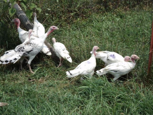 http://www.backyardchickens.com/forum/uploads/44102_chicken_chat_11_126.jpg