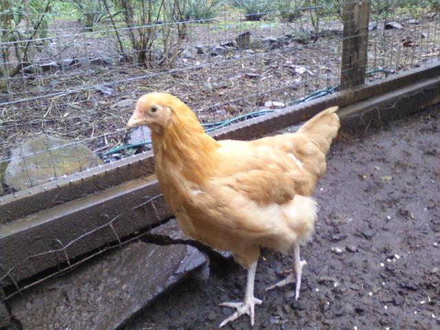 http://www.backyardchickens.com/forum/uploads/44142_butter_1.jpg