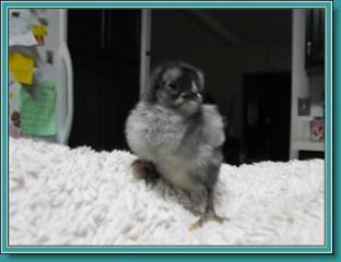 44142_chick_1.jpg