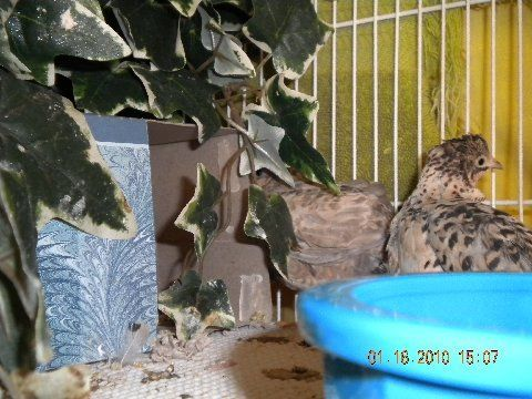 44218_adult_quail_s_and_s.jpg