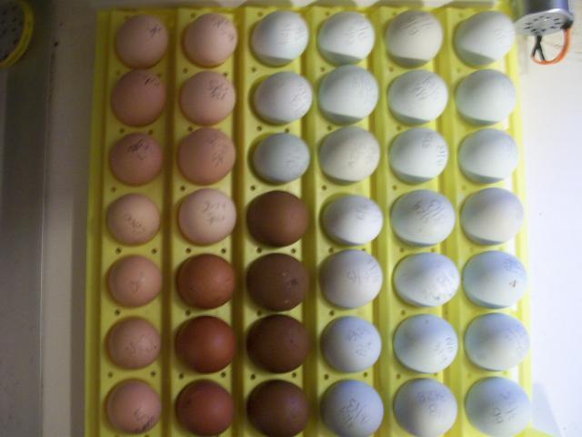 http://www.backyardchickens.com/forum/uploads/44349_eggs_012.jpg