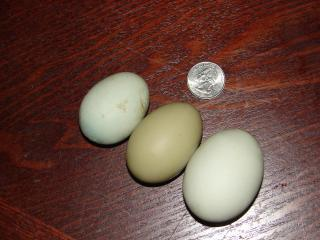 http://www.backyardchickens.com/forum/uploads/4439_2_small_green_eggs_and_a_normal_green_egg_9-20_003.jpg