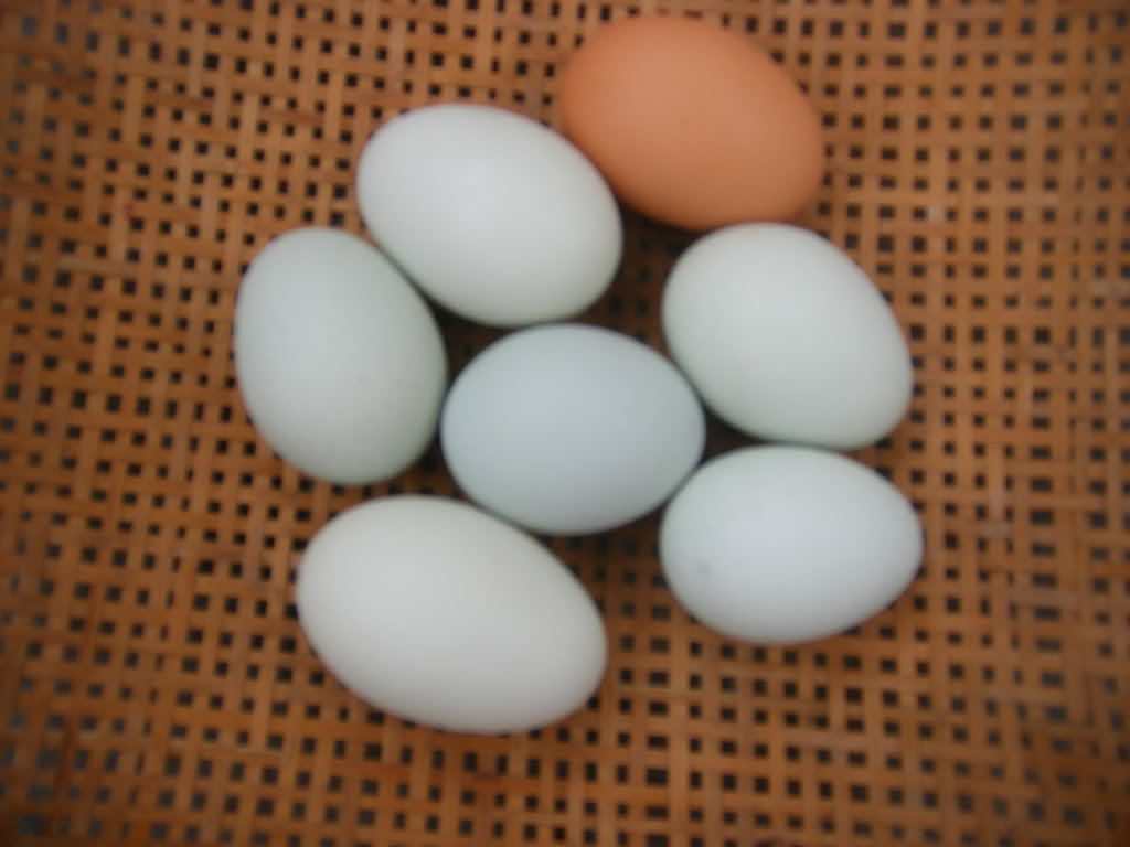 http://www.backyardchickens.com/forum/uploads/4439_ameraucana_eggs.jpg