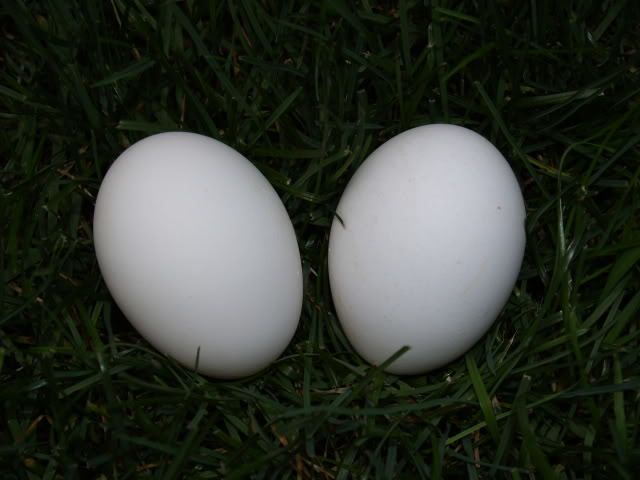 http://www.backyardchickens.com/forum/uploads/4439_campine_eggs.jpg