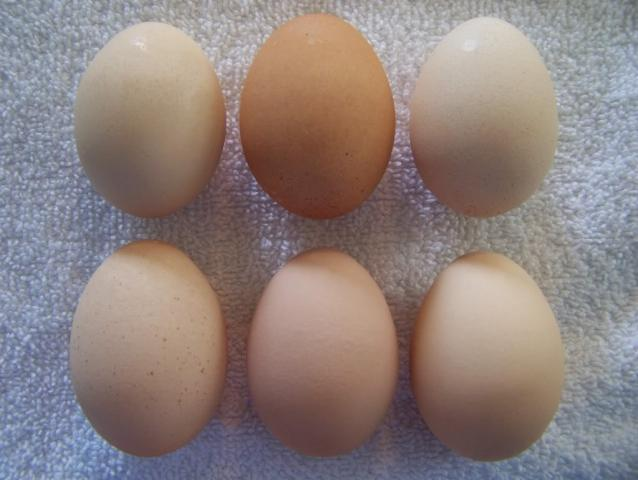 http://www.backyardchickens.com/forum/uploads/4439_chantecler_egg.jpg