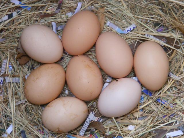 http://www.backyardchickens.com/forum/uploads/4439_dominique_eggs.jpg