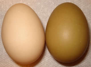http://www.backyardchickens.com/forum/uploads/4439_jersey_giant_egg.jpg