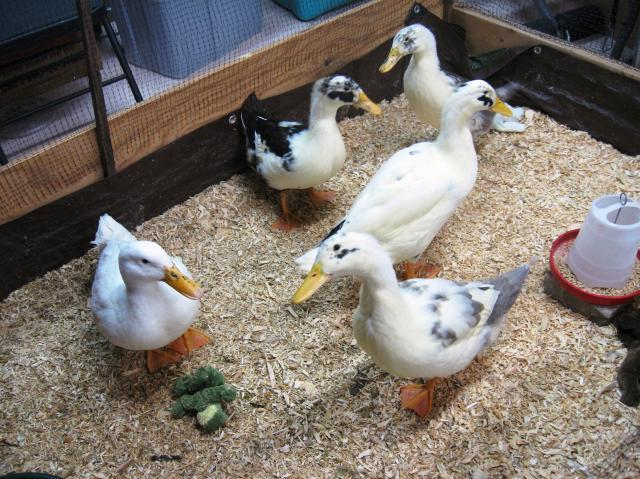 44477_indoor_ducks_8wks.jpg
