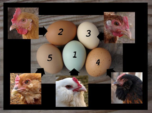 http://www.backyardchickens.com/forum/uploads/44629_dsc04066_pullet_eggs.jpg