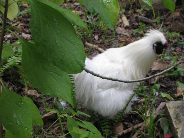 http://www.backyardchickens.com/forum/uploads/44847_chicken_026.jpg