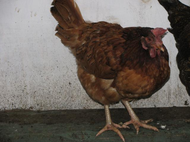 http://www.backyardchickens.com/forum/uploads/44847_magic_chickens_013.jpg