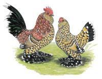 http://www.backyardchickens.com/forum/uploads/44883_milli.jpg