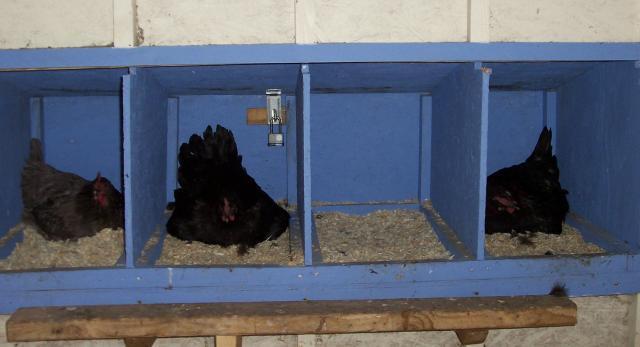 http://www.backyardchickens.com/forum/uploads/45258_3_french_hens.jpg