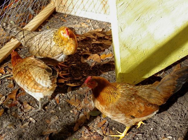 http://www.backyardchickens.com/forum/uploads/45258_kw_hens.jpg