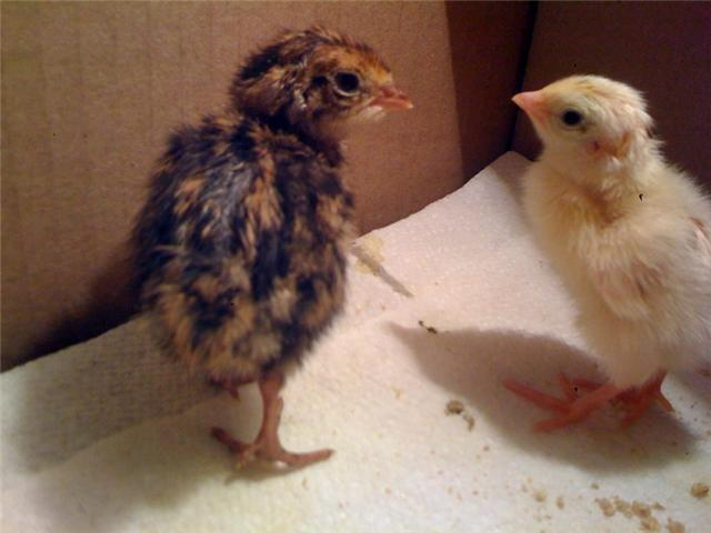45389_coturnix_chicks.jpeg