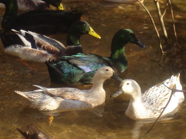 45522_ducks_012.jpg