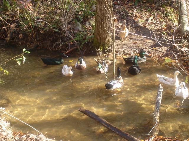 raising ducks on a creek | BackYard Chickens - Learn How ...