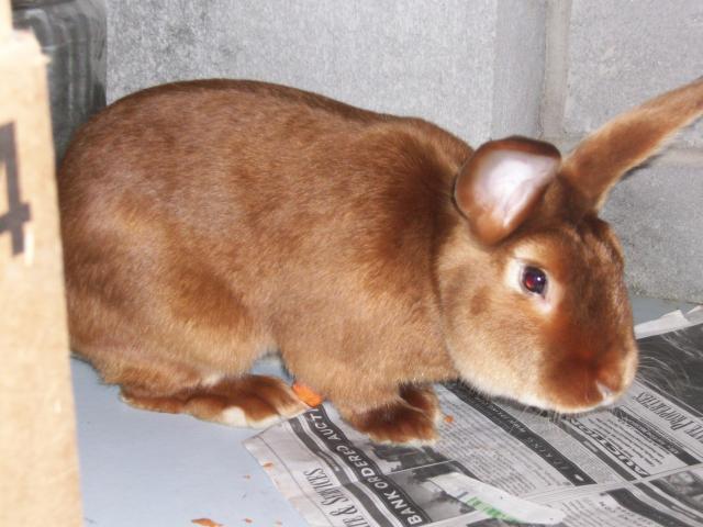 http   www backyardchickens com forum uploads 45605 new chicken and    Red Mini Satin Rabbit