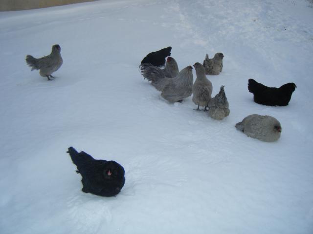 http://www.backyardchickens.com/forum/uploads/45758_dscf3940.jpg