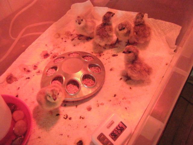 http://www.backyardchickens.com/forum/uploads/45758_hatched_lavender_ameraucanas.jpg
