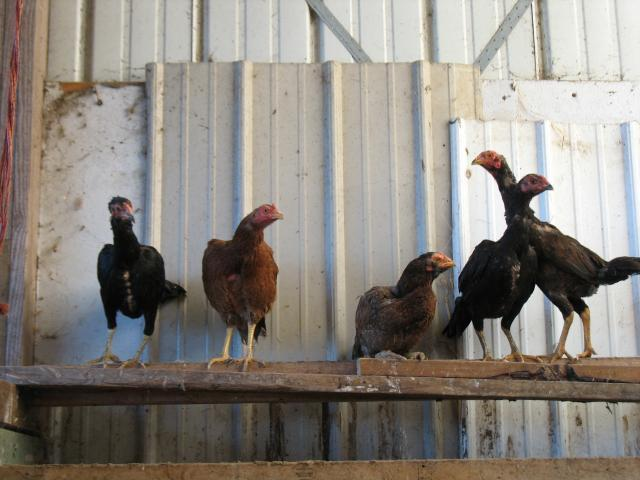 http://www.backyardchickens.com/forum/uploads/45894_img_0940.jpg