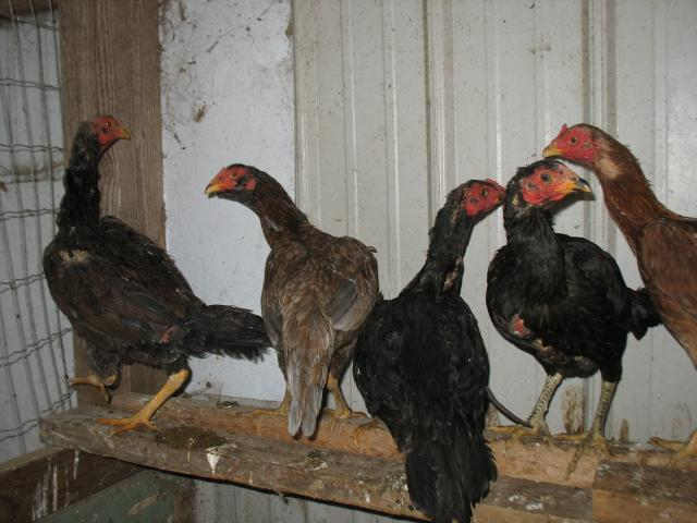 http://www.backyardchickens.com/forum/uploads/45894_img_0954.jpg