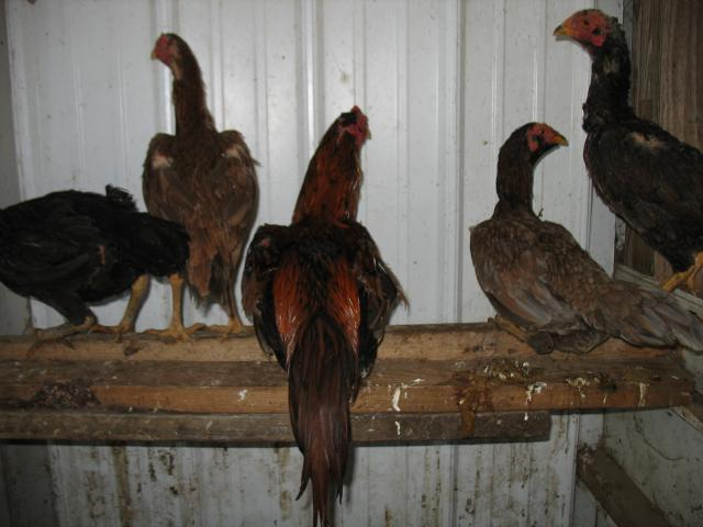 Fighting Chickens For Sale Craigslist