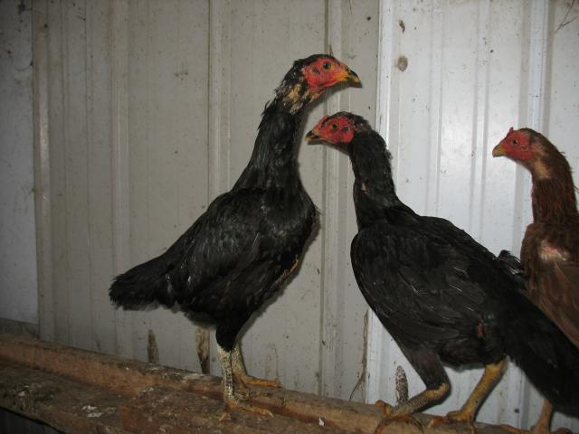 http://www.backyardchickens.com/forum/uploads/45894_img_0985.jpg