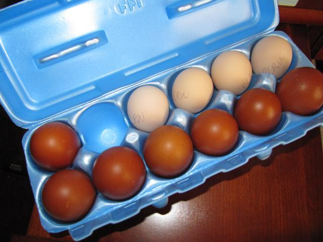 4593_wheaten_eggs_001.jpg