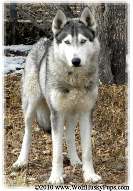 Hybrid Wolf Dogs For Sale Images & Pictures - Becuo