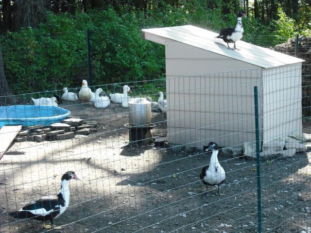 http://www.backyardchickens.com/forum/uploads/46025_dscf0870.jpg