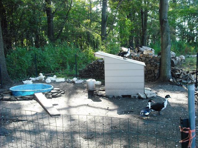 http://www.backyardchickens.com/forum/uploads/46025_dscf0871.jpg