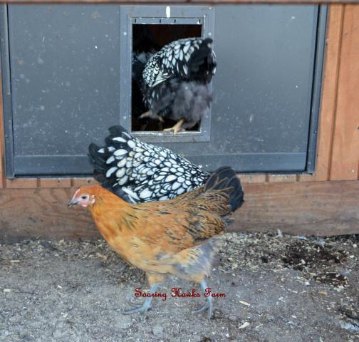 http://www.backyardchickens.com/forum/uploads/46537_breeder_updates_10-2011_053.jpg
