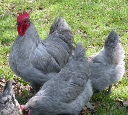 http://www.backyardchickens.com/forum/uploads/46635_ebay_8.jpg