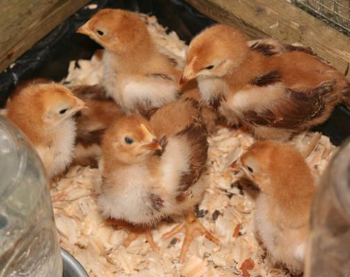 46776_chicks_peanuts.jpg