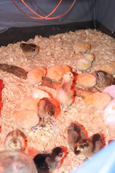 46776_chicks_tent3.jpg