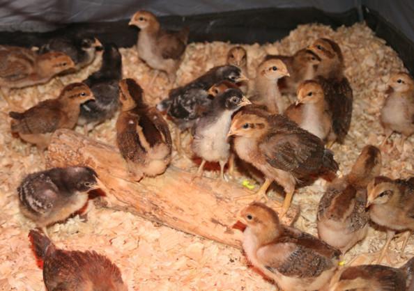 46776_chicks_welliesbarredholls.jpg