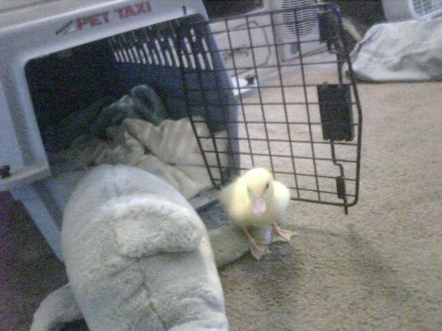 http://www.backyardchickens.com/forum/uploads/46966_duckie_2.jpg
