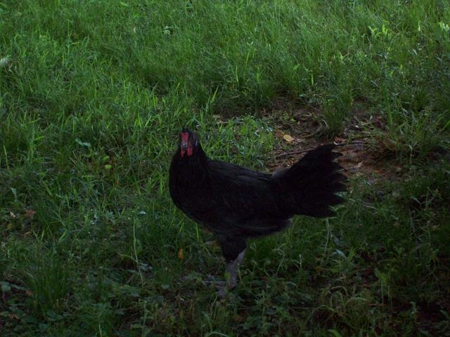 http://www.backyardchickens.com/forum/uploads/47708_0100.jpg
