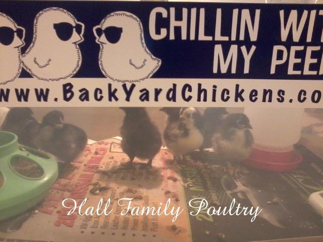 http://www.backyardchickens.com/forum/uploads/47716_blob_chicks_1.jpg