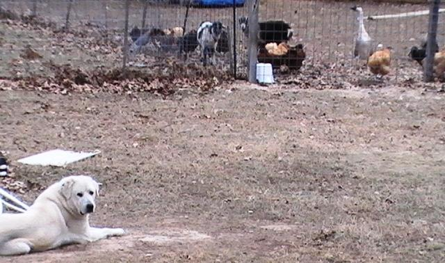 http://www.backyardchickens.com/forum/uploads/47716_buddy_at_work.jpg