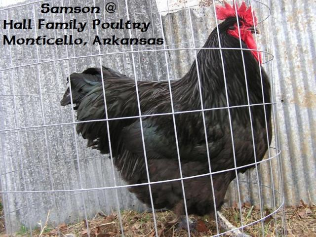 http://www.backyardchickens.com/forum/uploads/47716_heritagehabitatfarms_blk_orp_1.jpg