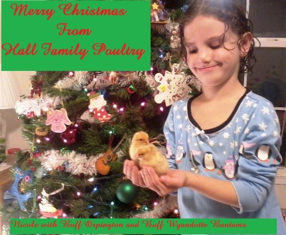 http://www.backyardchickens.com/forum/uploads/47716_nicole_xmas_chicks_1.jpg