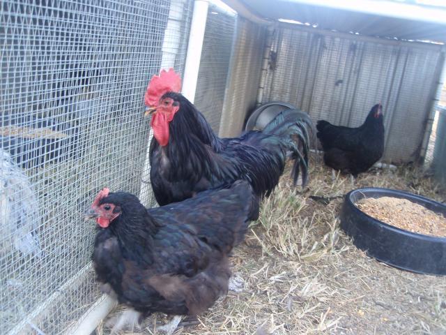 http://www.backyardchickens.com/forum/uploads/47762_black_java_trio_fall_2010.jpg