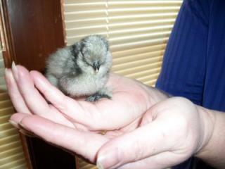 47814_chicks_001a.jpg