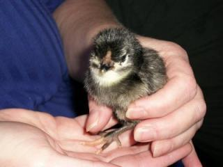47814_chicks_002a.jpg
