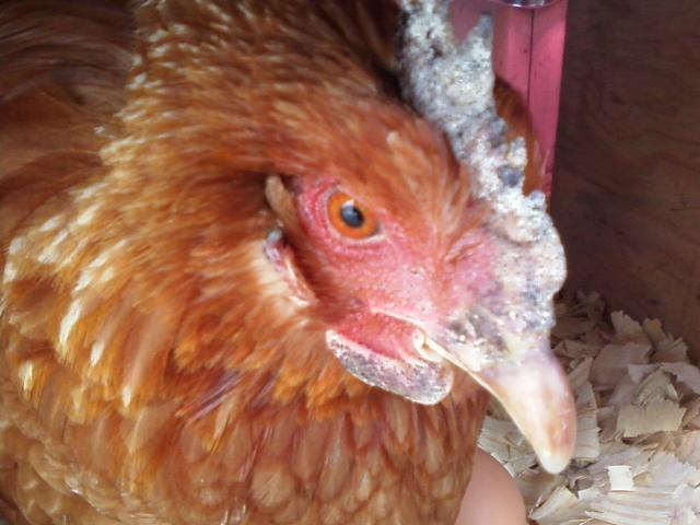 http://www.backyardchickens.com/forum/uploads/47913_gertrude_chicken_up_close.jpg