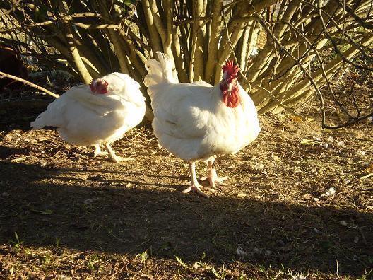 http://www.backyardchickens.com/forum/uploads/4810_ollieandhen.jpg