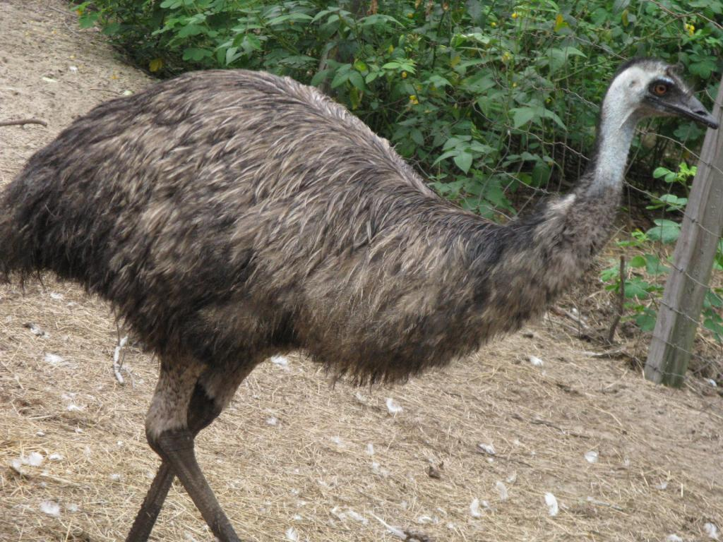 1 emu hatching egg